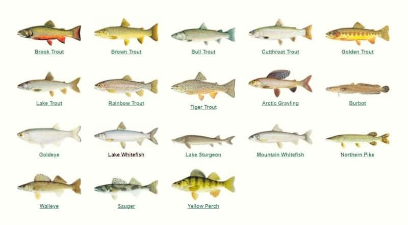 What Are Game Fish in Alberta?